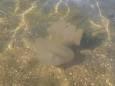 Нашествие медуз в Азовском море произошло из-за засухи