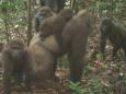 У Нігерії виявили рідкісних горил