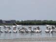 В Одесскую область прилетели пеликаны