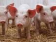 У Київській області зафіксовано спалах африканської чуми свиней