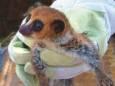 У Мадагаскарі вчені знайшли новий вид тварин