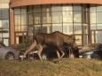 В Киеве среди домов гулял лось