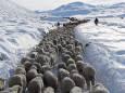 В результаті хуртовин в Патагонії загинуло понад 100 тис. голів худоби
