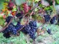 Французские виноделы собрали самый ранний с 1556 года урожай