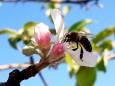 В Киевской области во второй раз зацвели яблони