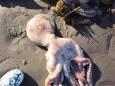 На узбережжі Камчатки знайшли сотні загиблих морських тварин