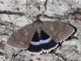 В Чернобыле обнаружили бабочку размером с птицу