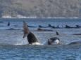 Стая китов выбросилась на берег в Тасмании