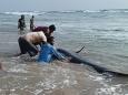 На Шри-Ланке борются за спасение 100 китов, выбросившихся на берег