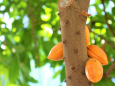 Тропические фрукты смягчат последствия изменения климата