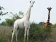 Єдиний в світі білий жираф отримав електронну мітку