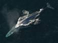 Спустя 50 лет в Атлантику вернулись синие киты. Видео