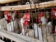 В Чехии запретили держать кур в клетках