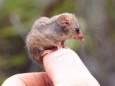 В Австралии нашли крошечных животных, которых считали вымершими. Фото