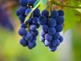 Новая опасная болезнь уничтожает украинский виноград
