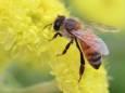 Аргентинские ученые нашли способ как управлять пчелами, повышая урожай