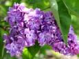 У Миколаєві зацвіли хризантеми, троянди та бузок