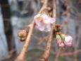 Весна узимку: на Закарпатті зацвіла сакура