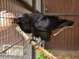 Пессимизм заразен: доказано воронами