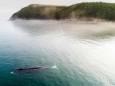 Популяция гренландских китов восстанавливается
