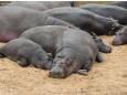 Экосистемам Колумбии угрожают десятки бегемотов Пабло Эскобара