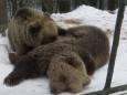 У Карпатах ведмеді не залягли у зимову сплячку через мінливу погоду