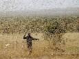 Сомали объявляет чрезвычайное положение из-за нашествия саранчи
