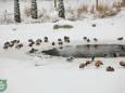 Тигри і верблюди в снігу. Фото з Київського зоопарку