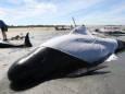 На берег у Новій Зеландії викинулися 50 чорних дельфінів