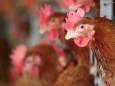 У Росії були виявлені перші випадки зараження людини пташиним грипом