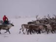 Трагедія в російській тундрі - від голоду загинули десятки тисяч оленів