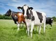 Водоросли на 82% снизили выбросы метана крупным рогатым скотом
