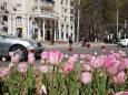 У Душанбе розпустилися майже шість мільйонів тюльпанів