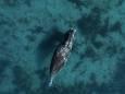 В Арктике зафиксировали аномальное поведение гренландских китов