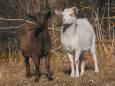 Китайський гороскоп на травень: Коза