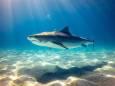 Акулы используют магнитные поля во время миграции на большие расстояния