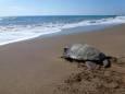 Вчені вперше виявили пластик в м'язах морських черепах