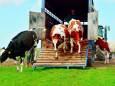 Фермеры Люксембурга требуют комфортных условий для перевозки животных