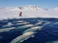 50 белух попали в ловушку льда в Арктике