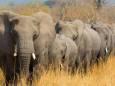 В Ботсване массово умирают слоны и ученые не знают, почему