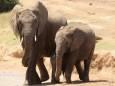 Разработка крупного нефтяного месторождения в Африке угрожает популяции слонов