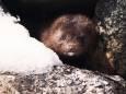 Естонія заборонила хутрові звіроферми