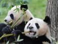 Гігантські панди більше не знаходяться під загрозою зникнення