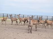 Первая в Украине оленья ферма основана на Волыни