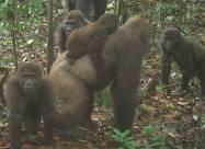 В Нигерии обнаружили редких горилл