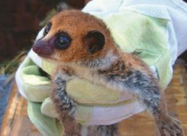В Мадагаскаре ученые нашли новый вид животных