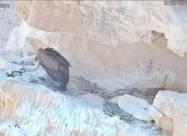 Птенца редкой птицы выкормили с помощью дрона
