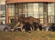 У Києві серед будинків гуляв лось