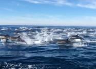«Бегство дельфинов» в Дана-Пойнт
