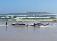 Сотни китов выбросились на берег Тасмании